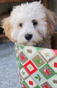Christmas Puppy looking sad in a box wrapped in Christmas paper