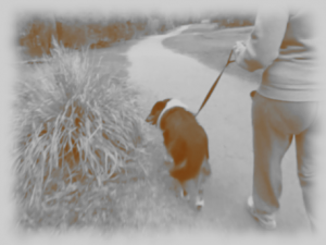 Dog walking on lead with human