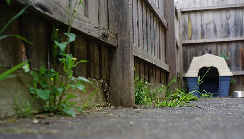 The story of a backyard dog