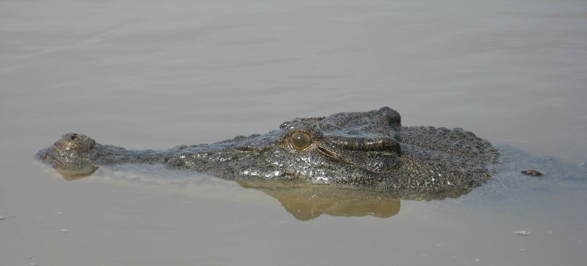 Crocodile in river demonstrating cool head