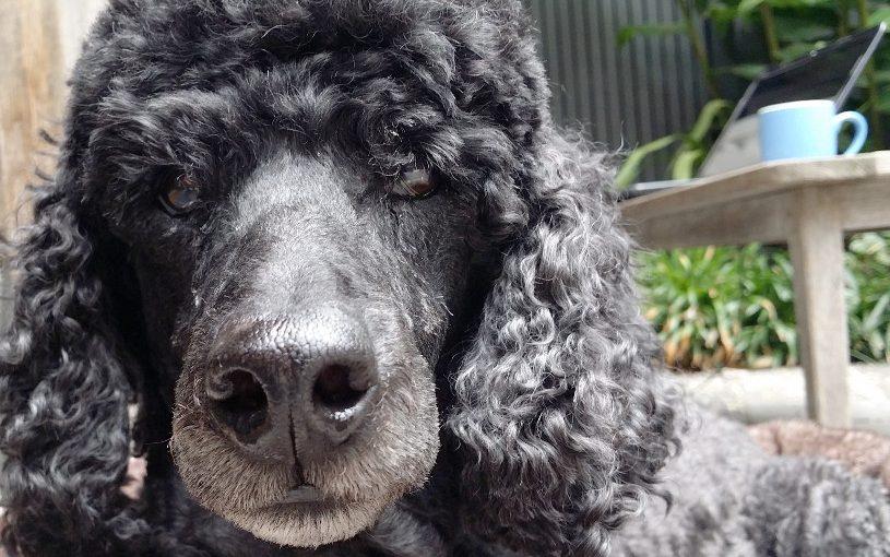 Pat the poodle portrait