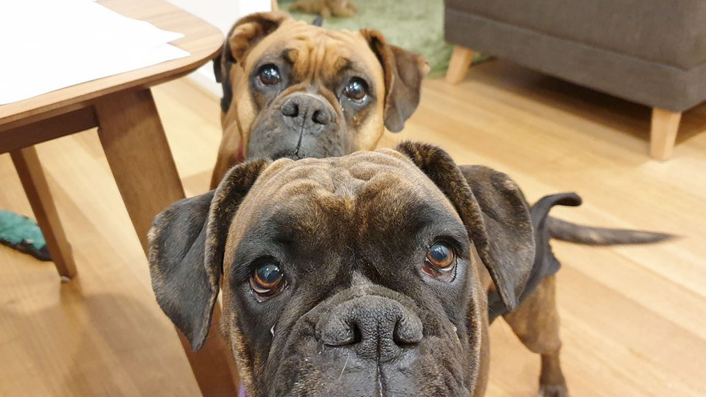 Two dogs staring intently at camera